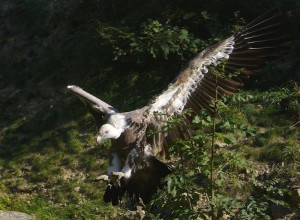 The Terror of the Skies in the Pyrenees ... or just a stinky bird trying to make a living?